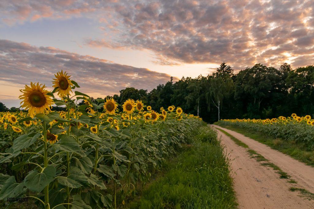 Kujawskie pola słoneczników